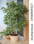 Ficus Benjamin In A Pot In An...