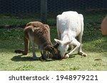 An Albino Kangaroo And A Brown ...
