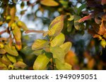 guava leaves on the tree in an...   Shutterstock . vector #1949095051
