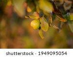 guava fruit tree in an organic...   Shutterstock . vector #1949095054