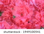 bush of full bloom pink azalea... | Shutterstock . vector #1949100541