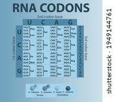 table of rna codons   genetic... | Shutterstock .eps vector #1949144761