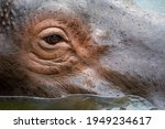 A Close Up Side View Of A Hippo ...