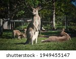 Kangaroo In The Zoo. Australia...