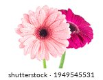 Two Gerbera Flowers With Water...