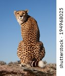 Back Looking Cheetah