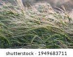 Morning Dew On Ears Of Barley...