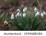 The Beautiful Snowdrop Flower...