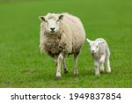 Lambing Time In The Yorkshire...