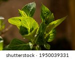 Macro Detail Of Leaves With...