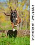 Boxer Dog Jumping Over The...
