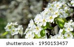 White Pear Blossoms On A Pear...