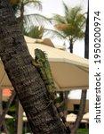 Iguana Inside A Palm Tree...