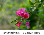 Red Bougainvillea Flower With...