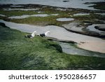 Sea Gulls Walking Through Tide...