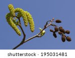 Small photo of Alnus maximowiczii, Alnus viridis, Green alder