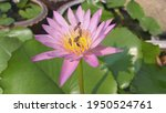 Hardy Water Lily Is Blooming...