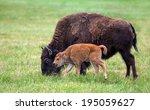 Buffalo Bison Cow And A Calf On ...
