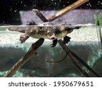 Wild Platypus Swimming On Water