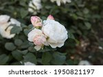 White Roses Blooming In The...