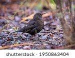 A Female Common Blackbird ...