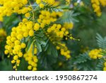 mimosa tree with bunches of... | Shutterstock . vector #1950867274