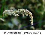 Seedhead Of Persicaria Maculosa ...