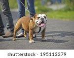 Stock photo english bulldog dog puppy outdoors on a lead 195113279