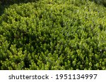 Spring Foliage Of An Evergreen...