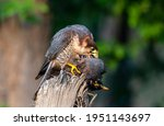 Small photo of The red-necked falcon or red headed merlin is a bird of prey in the falcon family with two disjunct populations, one in India and the other in Africa