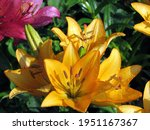 Lilies Are Yellow  Orange With...