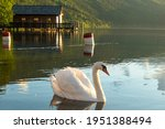 A Swan Swimming Across The...