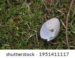 Broken Eggshell In Green Grass