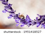 Bee On A Sage Flower