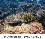 Two Color Acropora Coral Types...