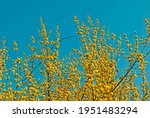 blooming dogwood  branches of...   Shutterstock . vector #1951483294