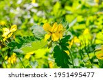 Flowering Yellow Celandine...