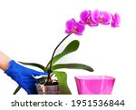 transplant of phalaenopsis...   Shutterstock . vector #1951536844