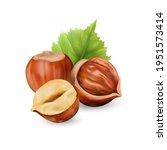 hazelnut kernels are ripe and...   Shutterstock .eps vector #1951573414