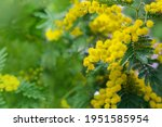 mimosa tree with bunches of... | Shutterstock . vector #1951585954