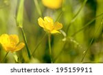 Blooming  Yellow Flowers  In...