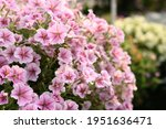 Pink Petunia Flower Blossom In...
