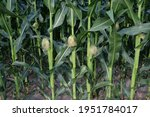 Corn Cobs On Stalks. Young...