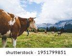 Cows In The Italian Alps ...