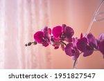Purple Phalaenopsis Flowers On...