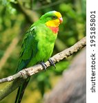 A Superb Parrot  Also Known As...