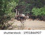 Adult Grey Female Ostrich In...