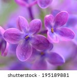 Purple Lilac Flowers On The...