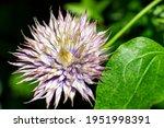 Purple Clematis Flower Blooming ...