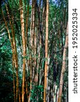 Vertical Photo Of Bamboo Trunks ...